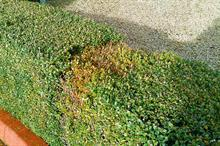 Box blight: advice on how to protect ornamentals crops from box blight