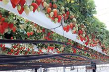 Horticulture Week Business Award - Soft-Fruit Grower of the Year