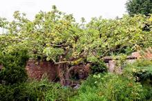 "University seeks to prolong life of original Bramley apple tree ""as long as possible"""
