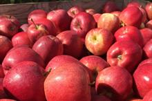 How big are the UK and Europe's apple and pear harvests likely to be?