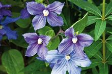 Late-flowering Clematis
