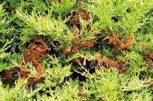 Needle blights: how growers can manage and treat needle blights on conifers