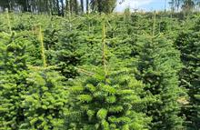 What's the Christmas tree market looking like for 2021? UPDATED