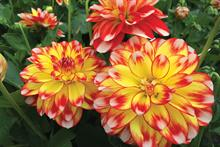 Dahlia Lubega Tricolour (Thompson & Morgan)