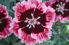 Hardy Cottage Garden Plants launches three perennials for Chelsea