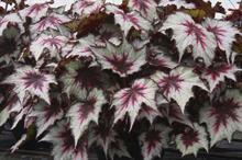 Begonia 'Silver Spirit'
