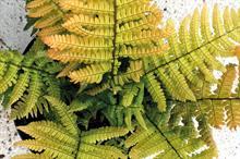 Dryopteris 'Jurassic Gold'
