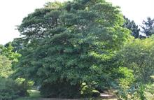 Heatwave leads to rare flowering of Chinese tree at Borde Hill and Batsford