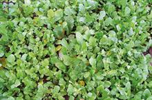 Pest & Disease Management - Green manure