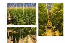 First British cucumbers of 2021 harvested