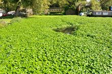 Environment Agency tackles floating pennywort outbreak in River Thames