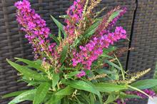 Genesis Plant Marketing for Buddleja 'Butterfly Tower' TOBUD1305