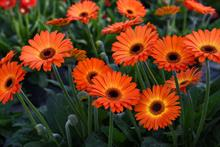 Garvinea Gerbera Sweet Sunset