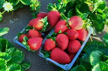 Results of leading US strawberry breeding programme to be licensed in UK