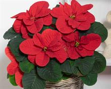 New poinsettias highlighted on Horticulture Week podcast