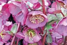 How new hellebores are adding to sales appeal