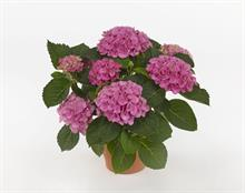 Hydrangea and clematis win gold at Dutch show