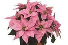 Wyevale Garden Centre pink poinsettias taking share from traditional reds