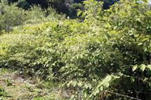 Will research solve Japanese knotweed task?