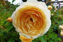 John Ystumllyn Rose launches as a symbol of friendship, love and community
