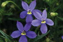 Isotoma axillaris 'Fizz n'Pop Glowing Purple'