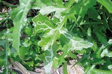 Pest & Disease Factsheet - leaf miners on ornamental crops