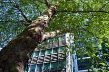 How can the benefits from urban trees be maximised?