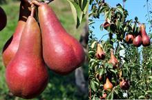 Italian partnership seeks grower partners to trial new pear varieties
