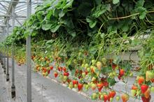 Research will maximise Malling Centenary strawberry's potential