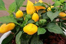 Pepper 'Lemon Dream'