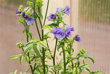 Polemonium 'Kaleidoscope'  (Hardy's Cottage Garden Plants)