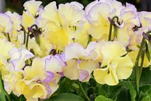 Viola 'Bridie' (Victorian Violas)