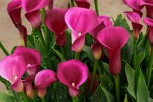 Zantedeschia 'Flirt' (Brighter Blooms)
