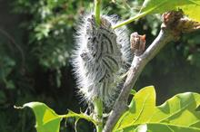 Caterpillars: how to stop caterpillars devaluing ornamentals crops