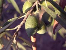 """Plant importer """"proceeding cautiously"""" in light of Xylella risks and palm restrictions"""