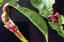 Pest & Disease Factsheet - Peach leaf curl