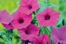 Petunia 'Vista Fuchsia'