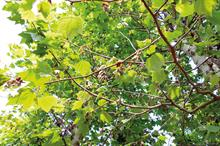 Platanus anthracnose: how to treat the fungus that causes Platanus anthracnose