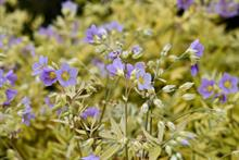 Polemonium 'Golden Feathers' tipped for top sales