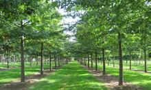 Hillier's oak tree sales boom as Oak Processionary Moth fears worsen