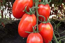 Bayer launches large-scale pre-launch trial of new tomato varieties with resistance to Tomato Brown Rugose Fruit Virus