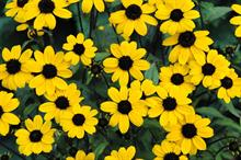 Rudbeckia triloba 'Blackjack Gold'