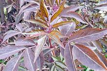 New Plants: Sambucus - How the latest breeding has improved elder hybrids