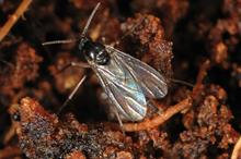 Sciarid flies: strategies and treatments to protect ornamentals crops from sciarid fly