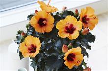 Hibiscus rosa-sinensis HibisQs Petit Orange ('Petit Orange') (HibisQs Petit Series)