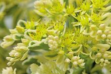New Plants: Sedum - What upgrades have been bred into latest sedums?