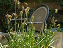 Knoll Gardens release new Sesleria