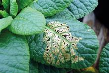 Pest & Disease Factsheet - Slugs & snails on ornamentals crops