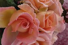 Harkness Roses 'Sweet Syrie' wins Glasgow Rose Trials