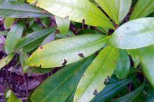 Pest & Disease Factsheet - Vine weevil